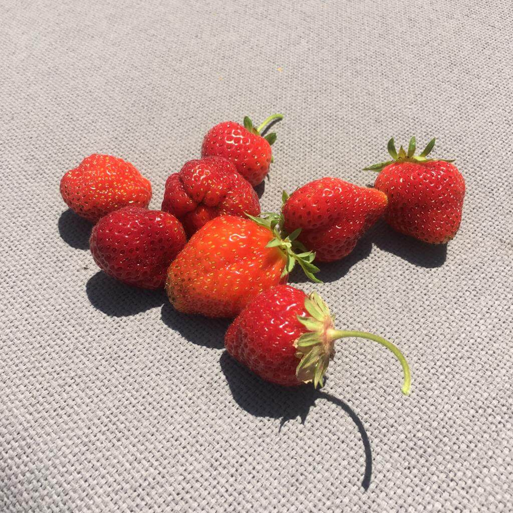 French Strawberries from the Ménerbes garden
