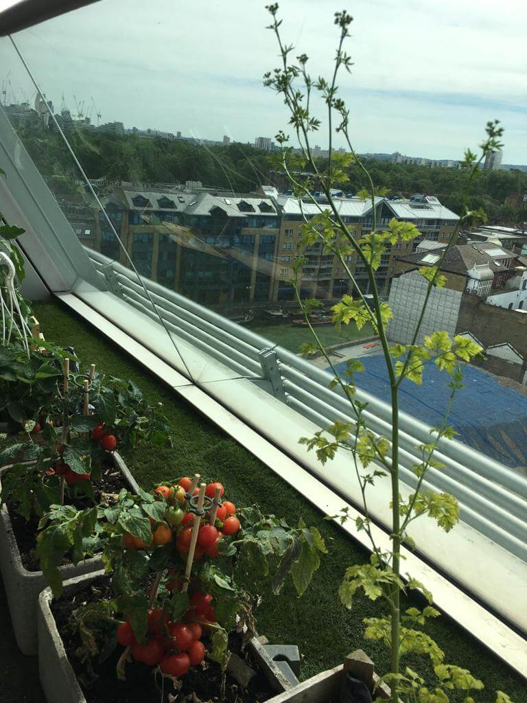 Balcony-grown tomatoes and chilli peppers
